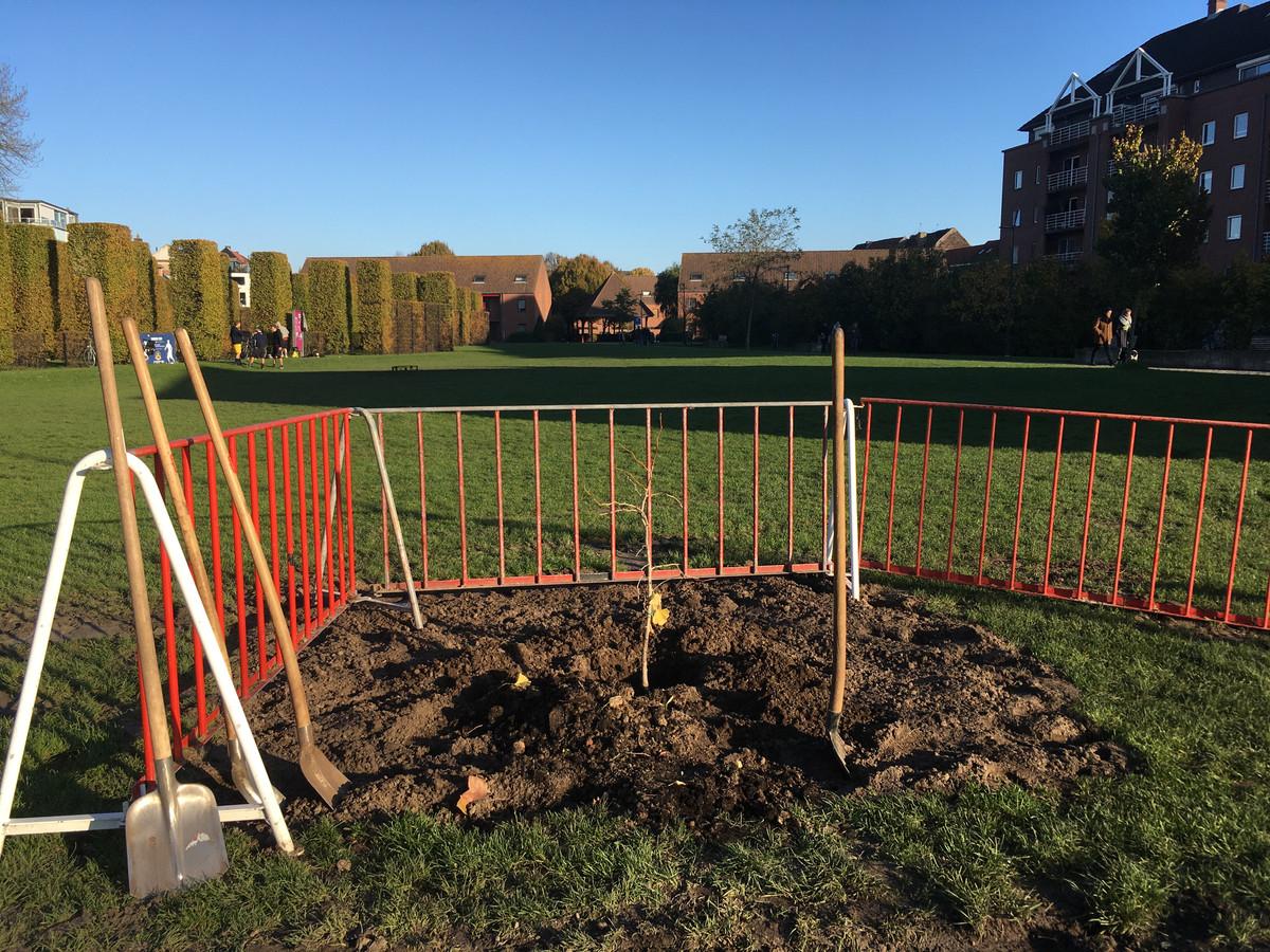 De Gents Ginkgo, een beetje verloren op de grote Sint-Baafssite.