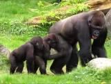 Gorilla Nasibu verruilt Blijdorp voor park in Nieuw-Zeeland