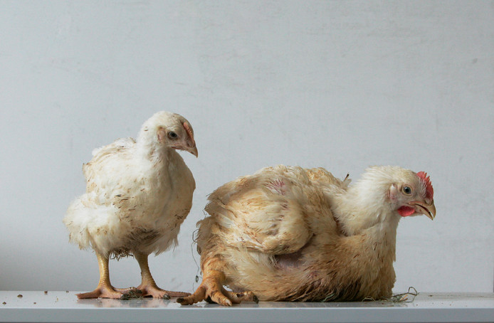 Plofkip (R) versus een normale kip van dezelfde leeftijd.