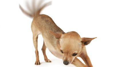 Van dode slang over eenden in konijnenhok tot vliegende chihuahua: rechtbank houdt themazitting rond dierenverwaarlozing