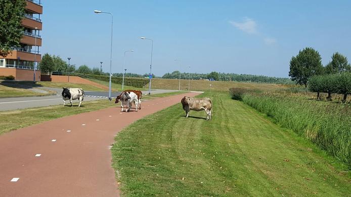 De koeien liepen de wijk in.