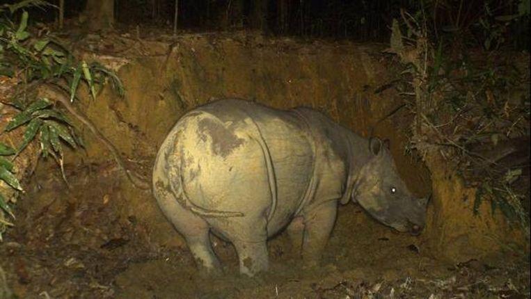 Ander goed nieuws van Borneo: een Sumatraanse rhinoceros , waarvan er vermoedelijk nog slechts 30 rondlopen, lijkt zwanger. (AP - World Wildlife Fund-Maleisië) Beeld