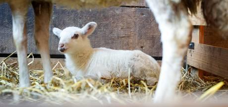 Genieten tussen de schapen op lammetjesdag Overijssel