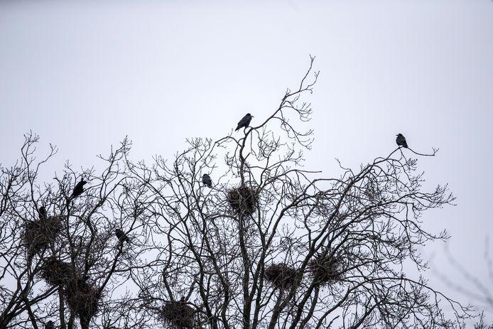 Roeken nestelen graag in hoge bomen.