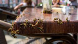 Hoe voorkom je dat je wordt gestoken door een wesp? En wat als het toch gebeurt?