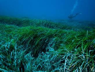 Zeegras verzamelt bijna 900 miljoen stukjes plastic per jaar