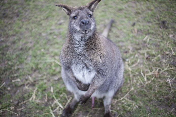 Een wallaby.