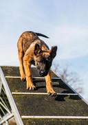 Hij is zonder twijfel de populairste hond van Nederland en de politie buit dat handig uit. Maar dit is niet zonder gevaar, waarschuwen experts.