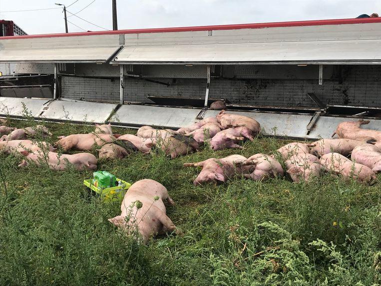 Een vrachtwagen met varkens aan boord kantelde in Lubbeek.