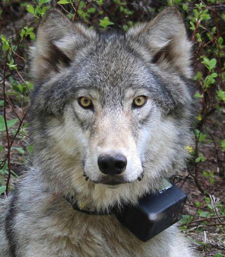Wolf die hartverscheurend huilde in Heilig Landstichting blijkt een beagle