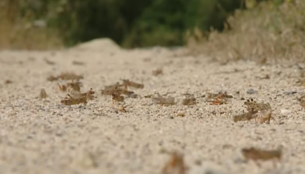 Sauterelles en Sardaigne
