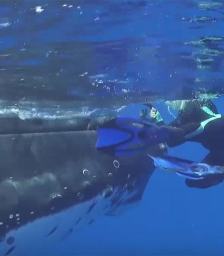 Snorkelende biologe: walvis beschermde mij tegen enorme haai