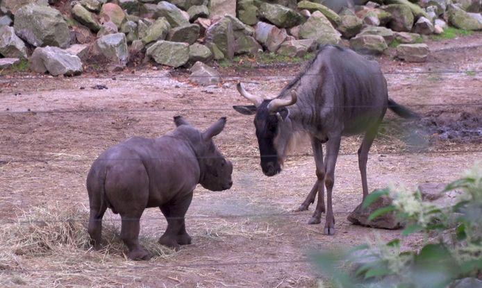 Het neushoorntje ontmoet donderdag voor het eerst andere dieren in de Arnhemse dierentuin Burgers' Zoo.