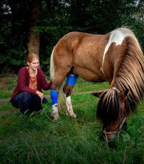 Wie of wat takelde IJslander Segull zo toe in Leur? 'Een kleine wond kan voor een paard al gevaarlijk zijn'