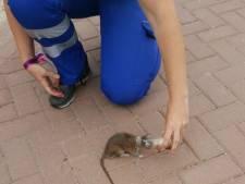 Dierenambulance vraagt met reddingsactie van ratje aandacht voor zwerfvuilprobleem