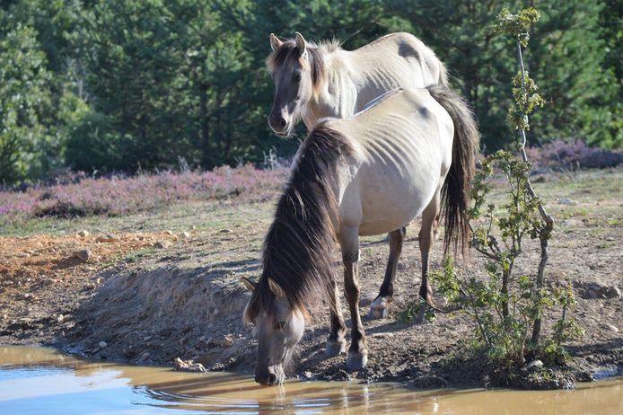 Een deel van de Flevolandse konikpaarden in Spanje is mager, vermoedelijk vanwege een parasiet.