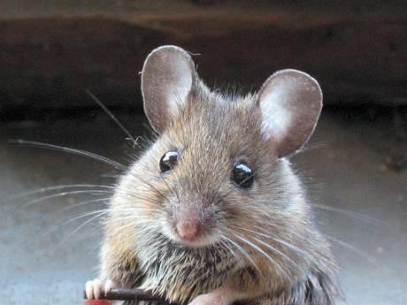 Muizenplaag in Zutphens Waterkwartier nog niet opgelost