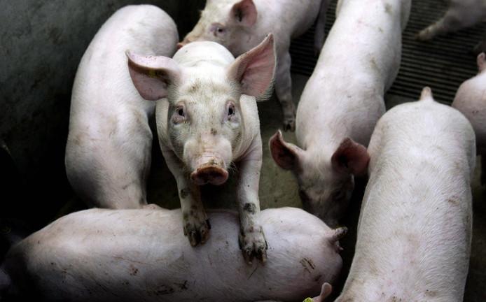 Varkens bij een varkenshouderij.