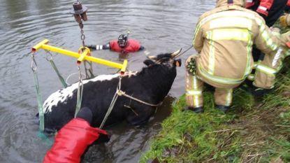 Brandweer redt koe uit Dender in Zandbergen