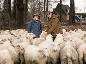 Herders op zoek naar nieuw graasland voor schaapskudde