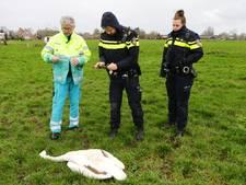 Opnieuw vier gedode zwanen in Oud-Alblas: 5000 euro voor gouden tip