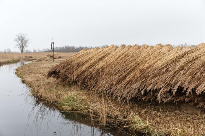 Om bosopslag tegen te gaan is jaarlijks maaien noodzakelijk, stellen de riettelers in De Weerribben en Wieden.