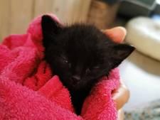 Un chaton retrouvé en Flandre dans un sac plastique et couvert de colle forte
