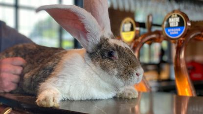 Nieuwe brouwerij en bierhuis Haeseveld krijgt mascotte: Strong het konijn