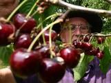 Fruitteler Roel geeft gratis kersen weg