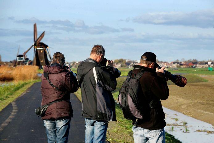 Vergeet de molens, drie sneeuwgorzen zijn momenteel de attractie in Groot-Ammers. De vogels trekken veel bekijks van vogelaars.