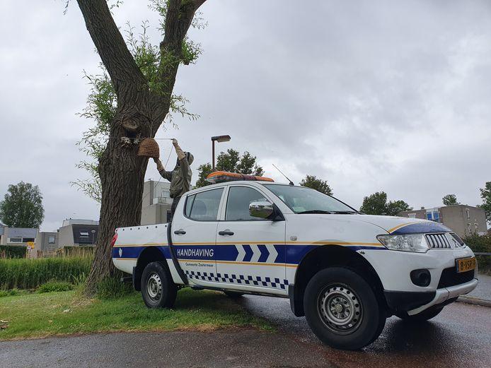 Een imker verwijdert honingbijen uit een boom in Zoetermeer nadat team handhaving van de gemeente is gebeld. De gedomesticeerde bijen worden verplaatst naar een plek waar de dieren wel kunnen overleven.