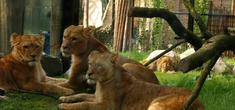 Dierenpark Amersfoort heeft leeuwin in moeten laten slapen