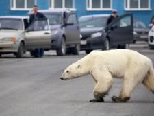Des dizaines d'ours blancs affamés se rassemblent autour d'un village russe
