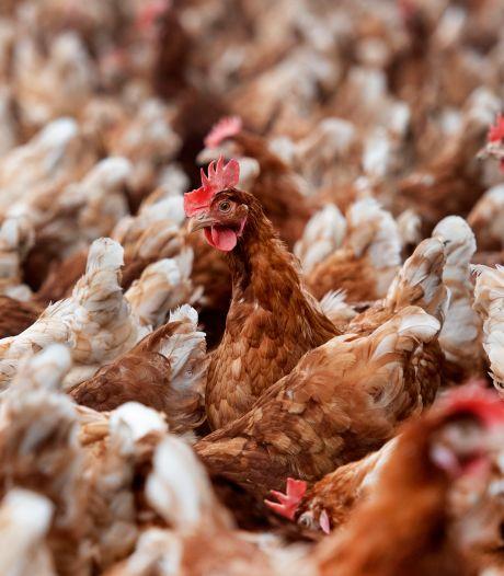 Boeren leven in angst voor ruiming van tienduizenden kippen om vogelgriep: 'Verschrikkelijk om mee te maken'