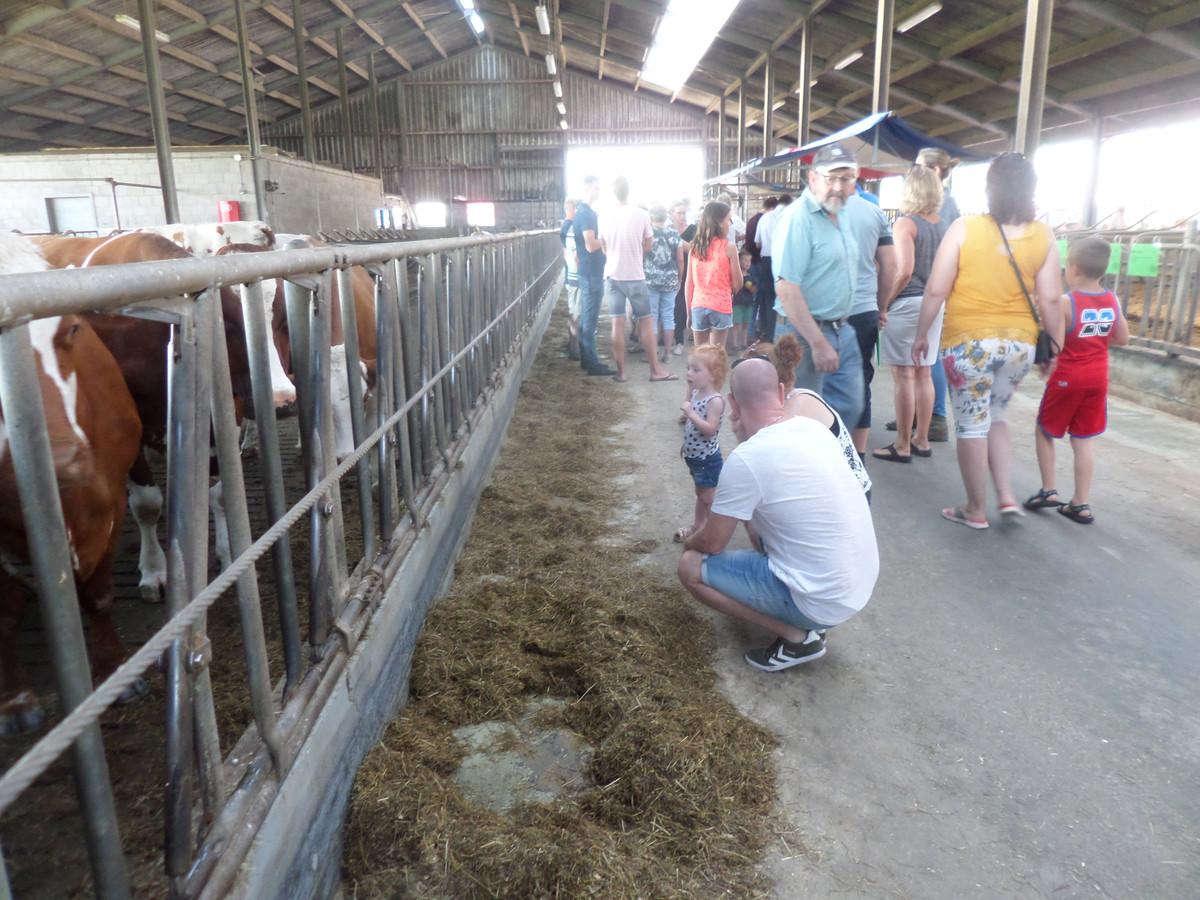 De stal met de roodbonte koeien.