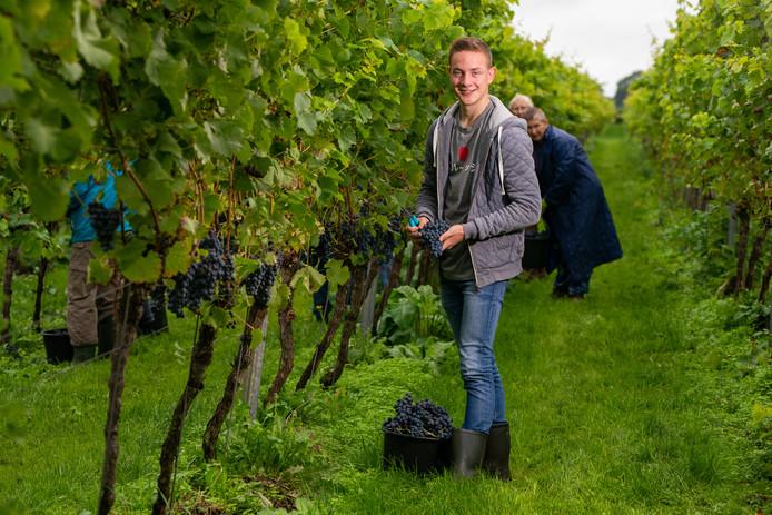 De druiven worden geoogst bij de Reestlandhoeve in Balkbrug. Bas Huisman, zoon van eigenaren John en Wilma Huisman, wordt deze dagen bijgestaan door twintig vrijwilligers.