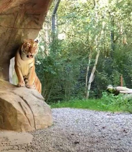 Tijgerin doodt verzorgster (55) voor ogen publiek in Zwitserse dierentuin