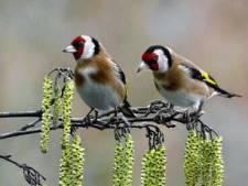 De Goudvink Vught pakt uit tijdens tweedaagse vogel-expositie