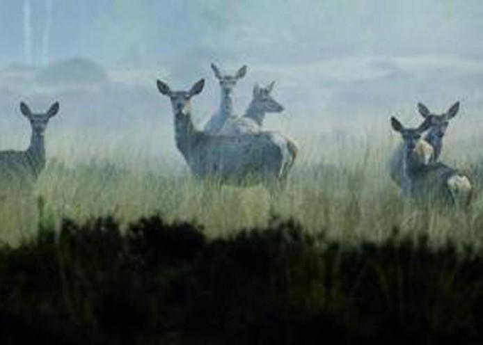 Reeën in Het Nationale Park De Hoge Veluwe. Foto: ANP