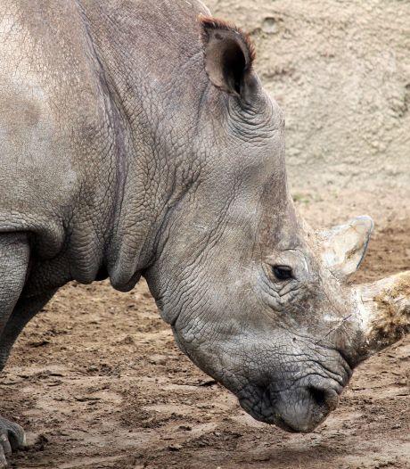 Na twee dodelijke incidenten op savanne: Wildlands in Emmen verdrijft neushoorns van hun hangplek