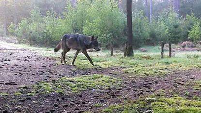 """Natuurhulpcentrum: """"Al zeven à acht bruikbare tips over wolvin Naya ontvangen"""""""