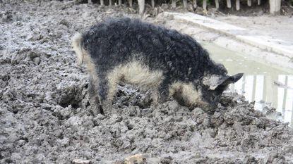 Nieuw op kinderboerderij: Hongaarse wolvarkens
