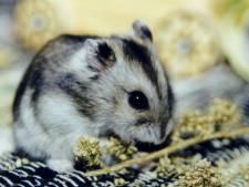 Hamster geweigerd tijdens vlucht, baasje spoelt het beest door de WC