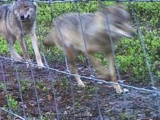 Nederland gaat richting de honderd wolven, verwacht wolvenboswachter Ruben
