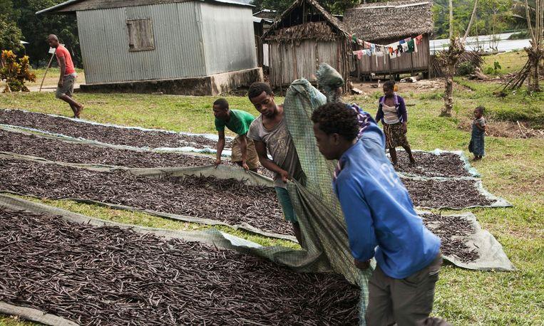 Arbeiders in Madagaskar leggen de vanille te drogen in de zon. Beeld Getty