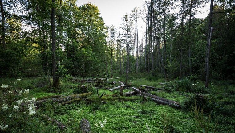 Gekapte bomen in Bialowieza, dat een beschermde status heeft van zowel Unesco als Natura-2000. Polen kapt ook buiten de toegestane zone. Beeld Jaap Arriens