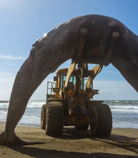 Proef: walviskadavers niet meer ruimen, maar laten vergaan in zee