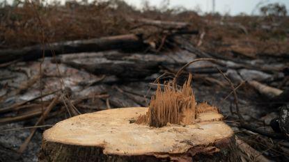 Vijf jaar na de beloften: bos verdwijnt sneller dan ooit tevoren
