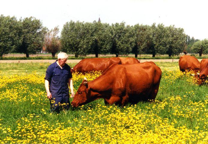 Traditioneel landbouwer André Depreitere tijdens zijn laatste boerenjaar in 1999. De man kweekte het West-Vlaams rood ras en won er meerdere prijskampen mee.