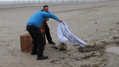 Natuurgids en sealwatcher Luc David redt zeehond met koorts